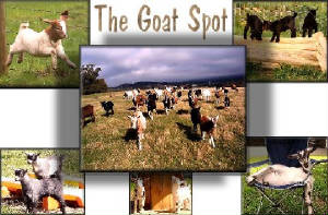 The Goat Spot -  a great place for goat lovers
