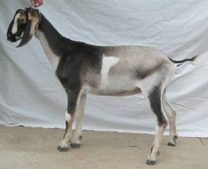 4th gen MiniNubian dairy goat doe